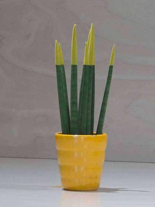 Sanseveria conica gialla
