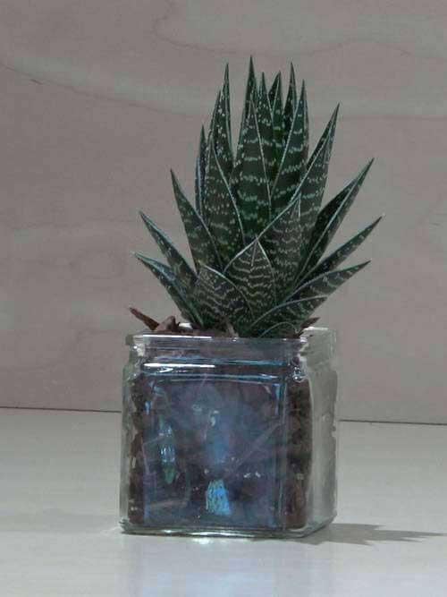 Aloe vera con vetro trasparente