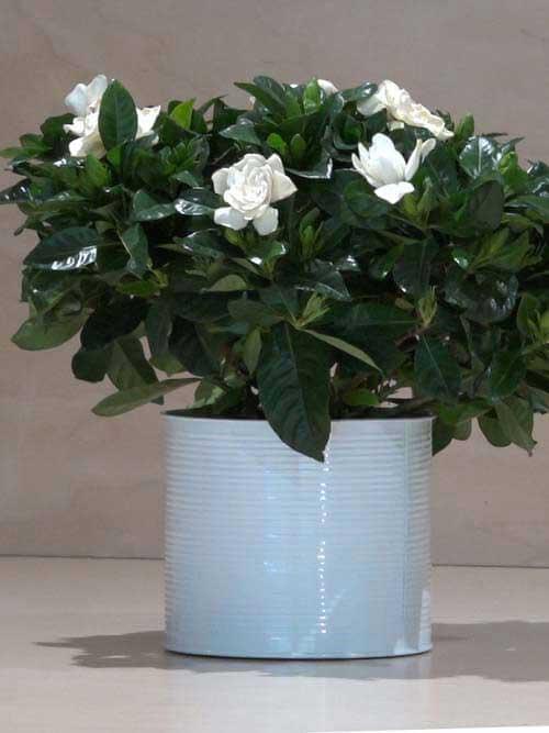 Gardenia bianca zambon fiori treviso - Gardenia pianta da giardino ...