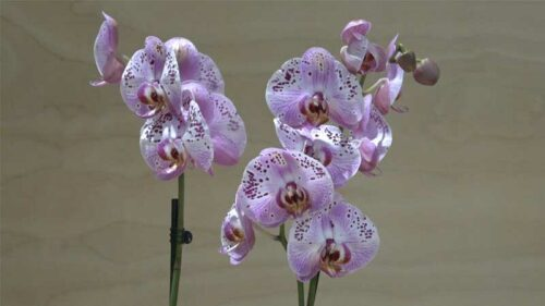Orchidea Phalaenopsis lilla