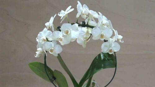 Orchidea Phalaenopsis bianca piccola ad archetto