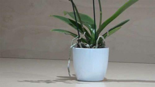 Orchidea Phalaenopsis piccola variopinta