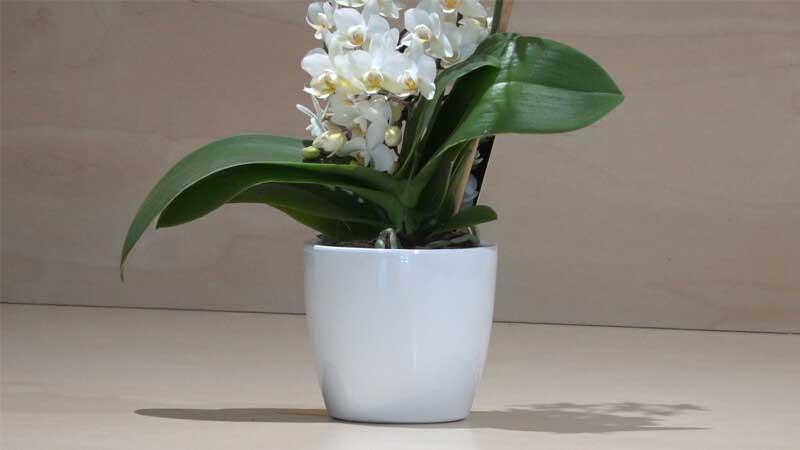 Orchidea phalaenopsis piccola bianca zambon fiori treviso for Orchidea prezzo