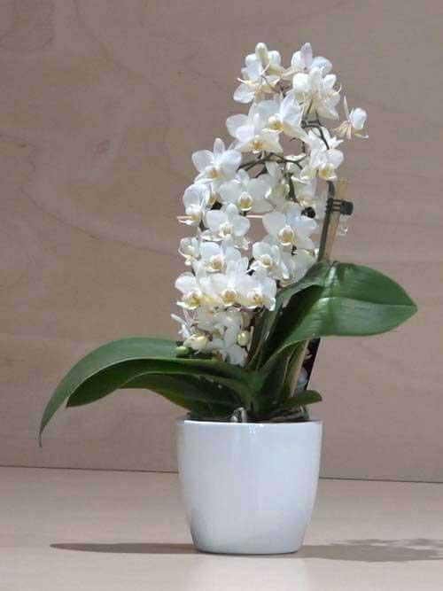 Orchidea Phalaenopsis piccola bianca