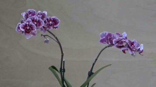 Orchidea Phalaenopsis piccola viola