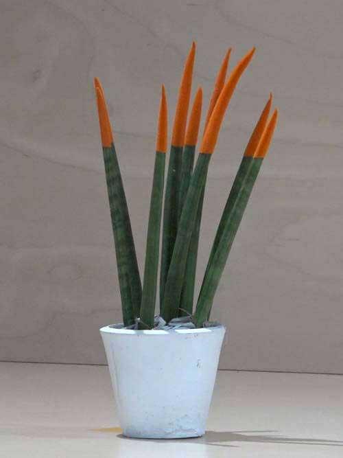 Sanseveria conica arancione