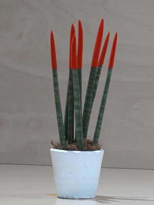 Sanseveria conica rossa